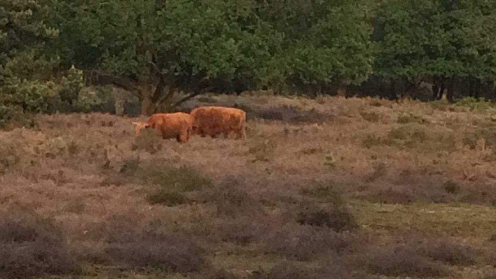 koeien in groesbeek